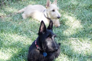 White and Black Scottish Terriers