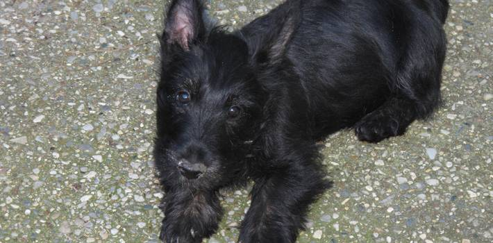 Scottish Terriers for Sale in Texas