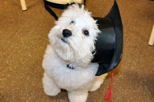 White Scottish Terrier