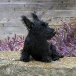 McCoy, Scottish Terrier puppy