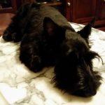 McPhee, Scottish Terrier puppy
