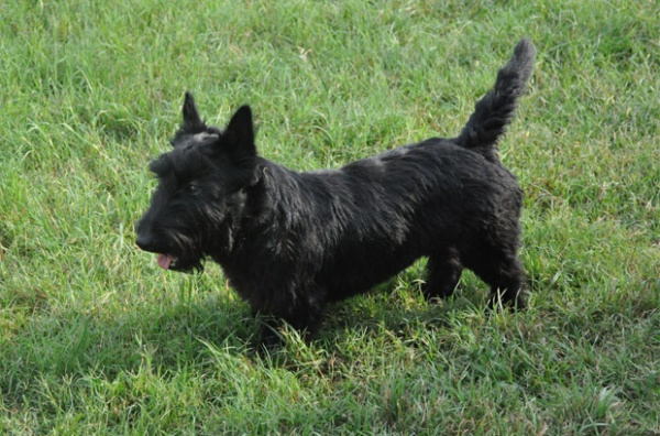 Bo, Scottish Terrier