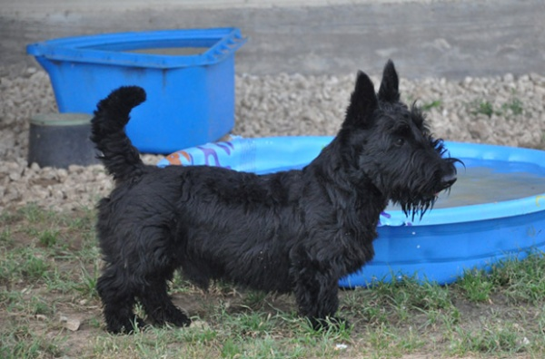 Darth, Scottish Terrier