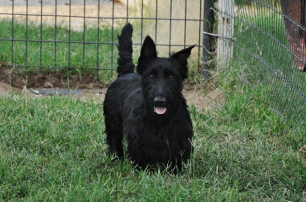 Eleanor, Scottish Terrier